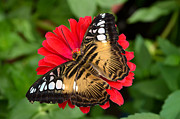 Brown Clipper Prints - Brown Clipper Butterfly on Red Zinnia Print by Eva Kaufman