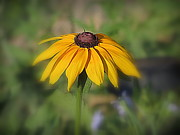 Kay Novy Prints - Brown Eyed Susan Print by Kay Novy