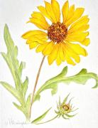 Canmore Artist Posters - Brown-eyed Susan Poster by Virginia Ann Hemingson