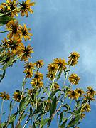 Black Eyed Susans Framed Prints - Brown-eyed Susans from Below Framed Print by Anna Lisa Yoder