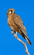 Featured Art - Brown Falcon by Bill  Robinson