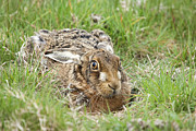 March Hare Photo Framed Prints - Brown Hare Framed Print by Philip Pound
