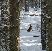 March Hare Photos - Brown Hare - Snow Wood by Phil Banks