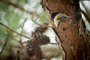 Bird On Tree Prints - Brown Headed Nuthatch Print by Linda Unger