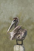 Anne Rodkin - Brown Pelican