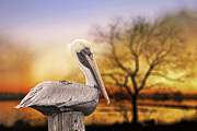 Louisiana Sunrise Photos - Brown Pelican at Rest by Bonnie Barry