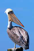 Tim Moore Metal Prints - Brown Pelican at the Bay Metal Print by Tim Moore