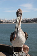 Frisco Pier Photos - Brown Pelican At The Torpedo Wharf Fising Pier Overlooking The City of San Francisco 5D21685 by Wingsdomain Art and Photography