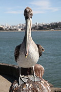 San Francisco Bay Posters - Brown Pelican At The Torpedo Wharf Fising Pier Overlooking The City of San Francisco 5D21689 Poster by Wingsdomain Art and Photography