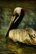 Waterfowl Framed Prints - Brown Pelican Beauty Framed Print by Deborah Benoit
