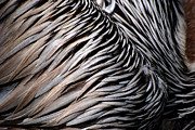 Lorenzo Cassina - Brown Pelican Feathers