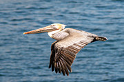 Brown Pelican Flying Print by Darleen Stry
