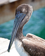 Friend Posters - Brown Pelican Friend II Poster by Michelle Wiarda