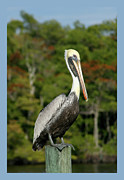 Brown Pelican Prints - Brown Pelican Print by Heidi Hermes
