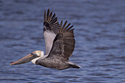 Waterfowl Prints - Brown Pelican in Flight Print by Bonnie Barry