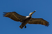 John Haldane - Brown Pelican in Flight