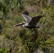 Brown Pelican Prints - Brown Pelican - In Flight Print by Kim Hojnacki