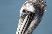 Frisco Pier Posters - Brown Pelican in Profile 7D21771 Poster by Wingsdomain Art and Photography