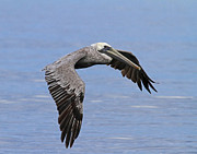 Jim Nelson - Brown Pelican