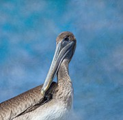 Fort Myers Beach Prints - Brown Pelican Print by Kim Hojnacki