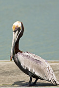 Natural Focal Point Photography - Brown Pelican