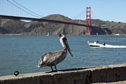 Frisco Pier Photos - Brown Pelican Overlooking The San Francisco Golden Gate Bridge 5D21670 by Wingsdomain Art and Photography