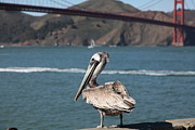 Frisco Pier Photos - Brown Pelican Overlooking The San Francisco Golden Gate Bridge 5D21672 by Wingsdomain Art and Photography