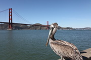 Frisco Pier Photos - Brown Pelican Overlooking The San Francisco Golden Gate Bridge 5D21683 by Wingsdomain Art and Photography