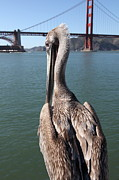 Frisco Pier Photos - Brown Pelican Overlooking The San Francisco Golden Gate Bridge 5D21700 by Wingsdomain Art and Photography