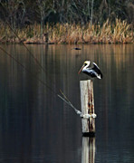 Deborah Smith - Brown Pelican Perched
