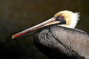 Joan Mccool Posters - Brown Pelican Portrait Poster by Joan McCool