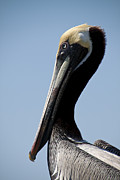 Alcatraz Art - Brown Pelican  by Regina  Williams