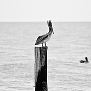Piling Framed Prints - Brown Pelican Framed Print by Scott Pellegrin