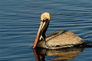 Stefan Carpenter - Brown Pelican