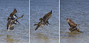 Gracefully Prints - Brown Pelican - Triptych Print by Kim Hojnacki