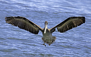 Tim Moore - Brown Pelican Wingspan