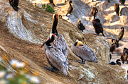 Cormorants Posters - Brown Pelicans at Rest Poster by Jim Carrell