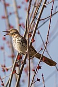 Natural Focal Point Photography - Brown Thrasher in Spring...