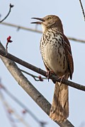 Natural Focal Point Photography - Brown Thrasher in Spring