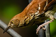 Robert L Jackson - Brown Thrasher