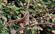 Rosanne Jordan - Brown Thrasher