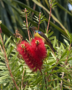Gerry Gantt - Brown-throated Sunbird...