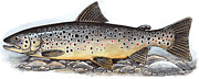 Trout Mixed Media Prints - Brown Trout Print by Art  MacKay