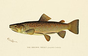 Antique Digital Art Posters - Brown Trout Poster by Gary Grayson