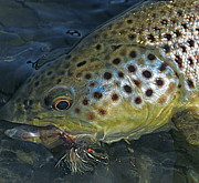 Flyfishing Prints - Brown trout Print by Jon Lister