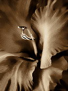 Flower Macro Prints - Brown Velvet Gladiolus Flower Print by Jennie Marie Schell