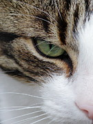 Brown Tabby Posters - Brown White Tabby Cat Face Close Up Poster by Lynne Dymond