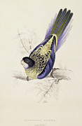 Blue Claws Prints - Browns Parakeet Print by Edward Lear