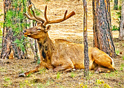 Cottonwood Digital Art - Browsing Elk in the Grand Canyon by Nadine and Bob Johnston