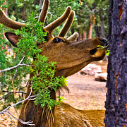 Elk Or Wapiti Posters - Browsing Red Deer in the Grand Canyon Poster by Nadine and Bob Johnston
